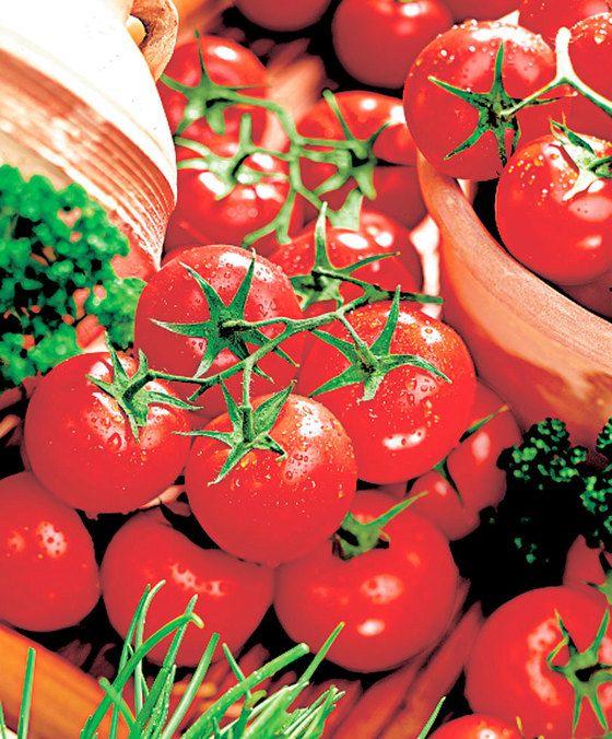 'Tumbling Tom'  Prachtige nieuwe tomaten voor in hangpotten op het balkon of terras! De bossige plant gaat hangen en hoeft dus niet te worden opgebonden of te worden gedieft! Ze zijn het meest geschikt voor in hangende potten of hanging baskets. De grote trossen met heerlijke kleine kerstomaatjes zullen over de rand gaan hangen. De hangende plant met rode kerstomaatjes ziet er dan ook fantastisch uit! Ze geeft een rijke oogst en is gemakkelijk te kweken!  EUR 10.95  Meer informatie