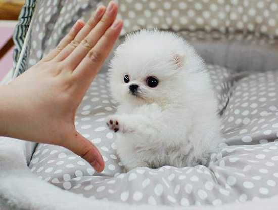 teacup pomeranian full grown size 17 best ideas about pomeranian husky full grown on 9154