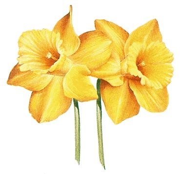 Things you might not have known about daffodils.  (They're narcissus, which is a word swiped from the myths!)