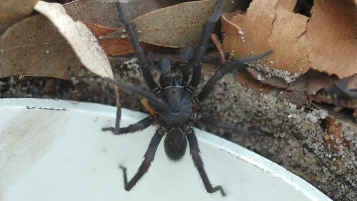 The park depends on its own catchers and the local community to collect Sydney funnel web spiders, which employees then milk for venom. When anti-venom stockpiles start to run low, the zoo will periodically issue a call for spiders. This happened once in 2012, and it's happening again this week. http://gizmodo.com/australian-zoo-wants-you-to-catch-deadly-venomous-spide-1791580262