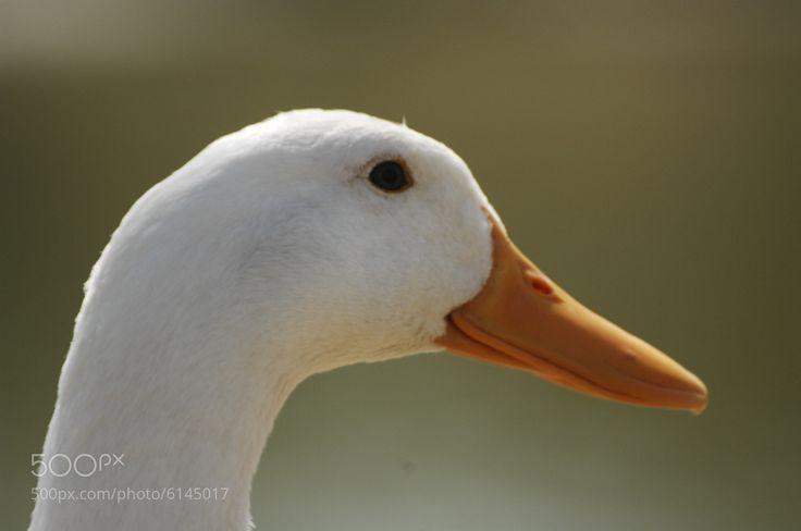#duck #lake #lagoon 오리