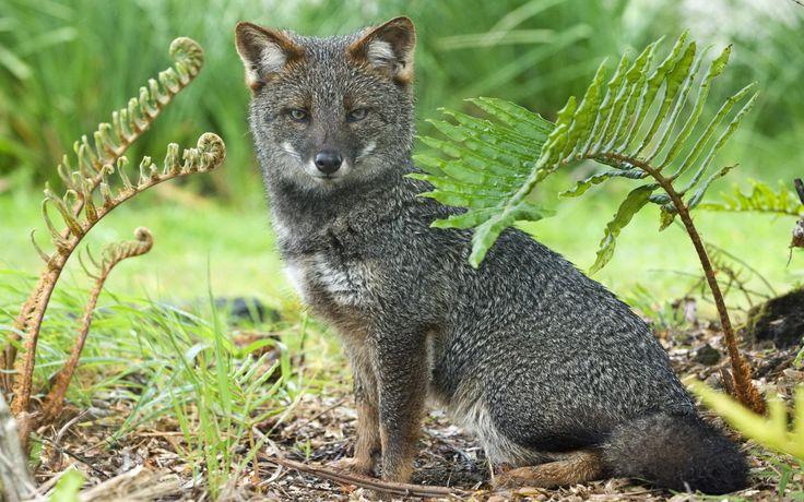 Humboldt Terren Berlin   Darwin S Fox Endangered Animals Endangered Species