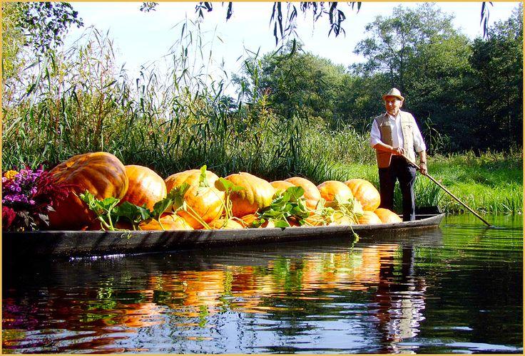 Kuerbisernte im Spreewald Pumpkin harvest in the Spreewald