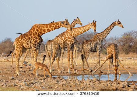 Giraffe herd (Giraffa camelopardalis) at a waterhole, Etosha National Park, Namibia
