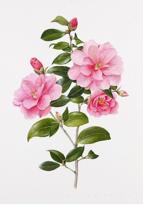 Google Image Result for http://www.riley-smith.com/crispian/gfx/drawings/december2008arrogateshow/camelliaweb.jpg