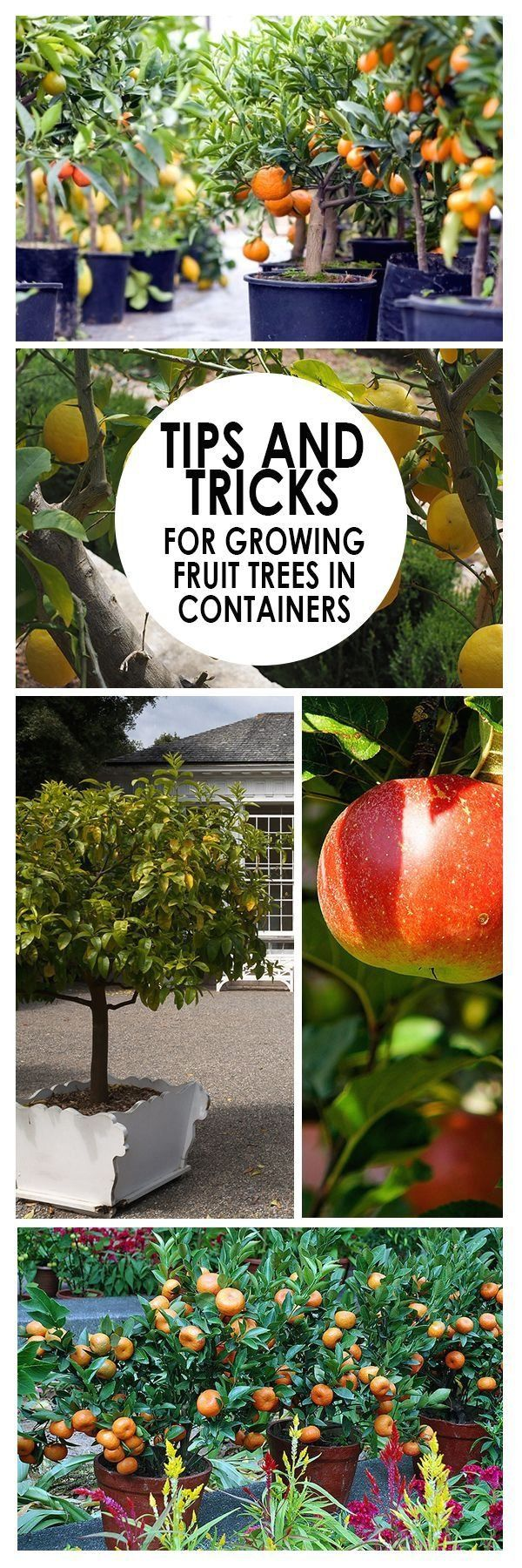 Tips And Tricks For Growing Fruit Trees In Containers Bees And Roses 1000 Fruit Trees In Containers Growing Fruit Growing Fruit Trees