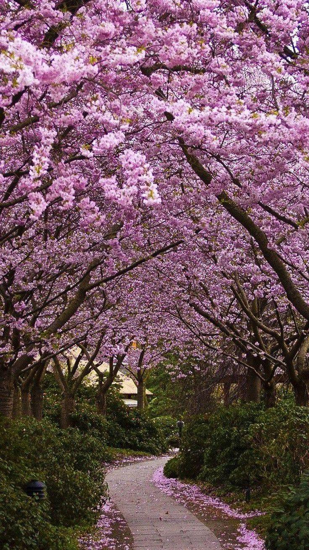 Japanese Cherry Blossom Path