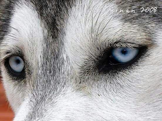 Meravigliosi occhi di lupo