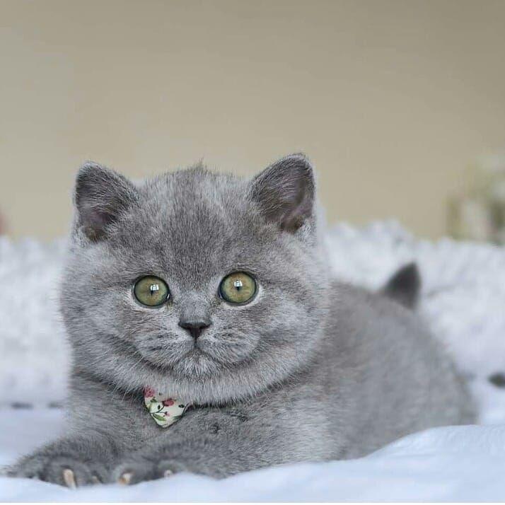 Assalamualaikum Gan Sist Ready Brithis Male Dan Famale Umur 5 Bulan Vaksin Lengkap Minat Chat Wa Assalamualaikum Gan Sist Ready Bri Cat Day Kittens Cat Lovers