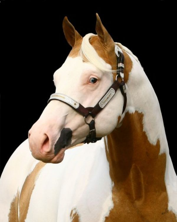Stunning, Palomino Frame Overo AQHA/APHA stallion, Invested By Far
