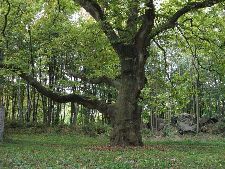 Najstarszy platan w parku miechowickim