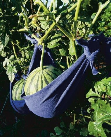 Use t-shirts to support growing melons!
