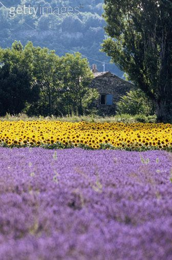 Frolicking through fields of lavender and sunflowers in Aix en Provence.