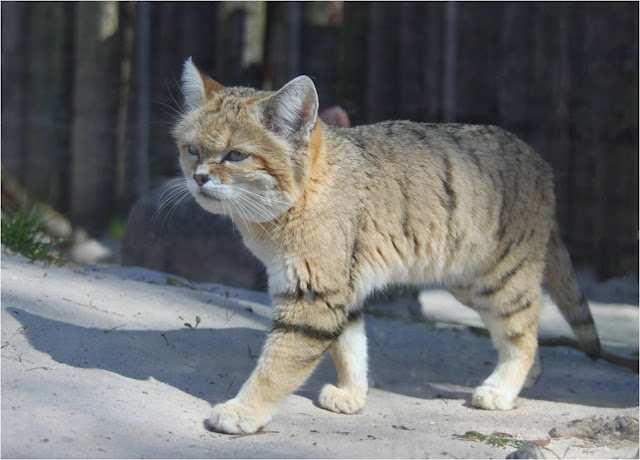 This is the Sand Cat – or Felis margarita, a little known species of desert cat. In the wild it lives in areas that are too hot and dry for any other cat- the deserts of Africa and Asia, including the Sahara.