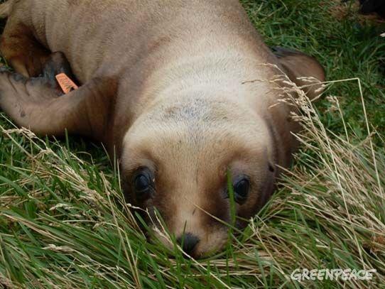 A baby NZ sea lion on Enderby Island (C) Kate Paris http://www.greenpeace.org/new-zealand/en/blog/no-longer-just-a-photograph-in-my-calendar/blog/43840/