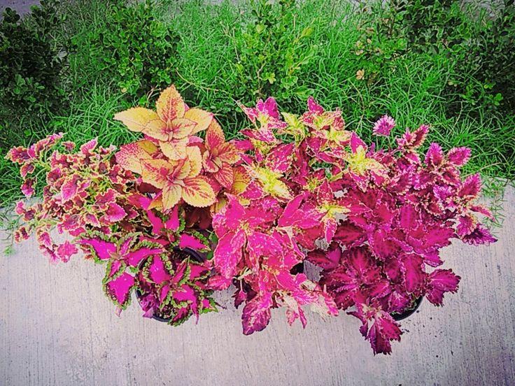 7 best Mis plantas, mi patio y mi jardín images on Pinterest ...