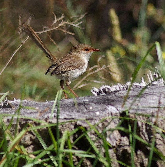 Brown Wren takes centre stage