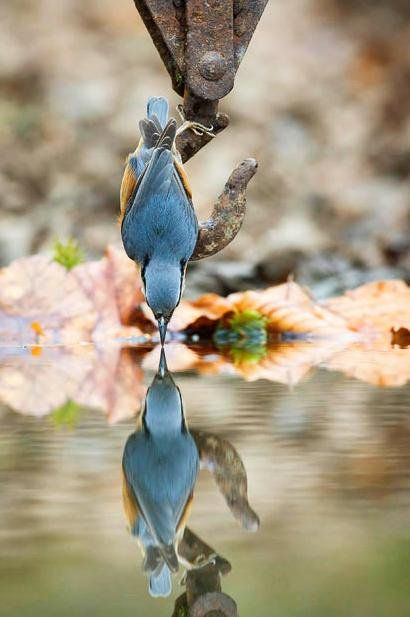 I haven't seen this one in my backyard, but I absolutely love this picture and had to add it. Nuthatch by Mark Hancox