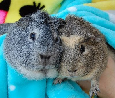Jack & Amador inseperable  Guinea pigs ready for adoption, Nevada, 25th June 2017
