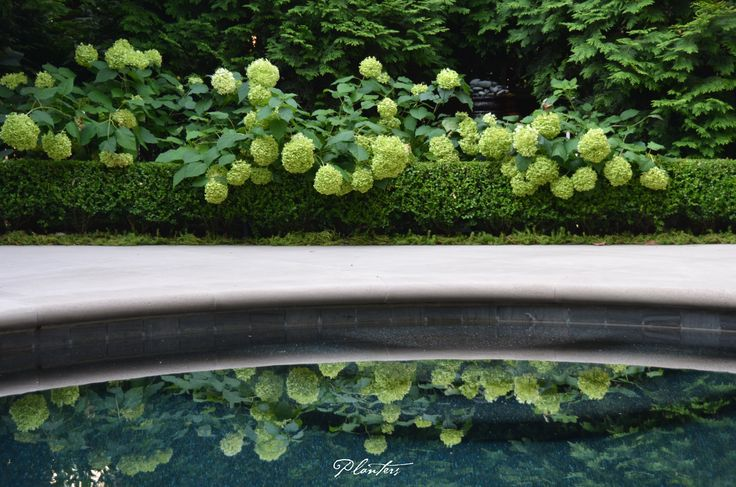 The green Korean boxwood hedges, white limestone pool deck, and reflection of the Annabelle hydrangeas is the perfect combination.  A Planters design.  Atlanta, GA