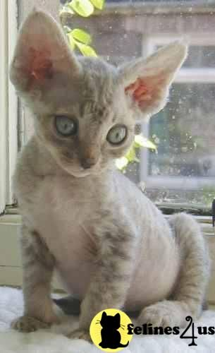cornish rex, cant wait to get one!!!