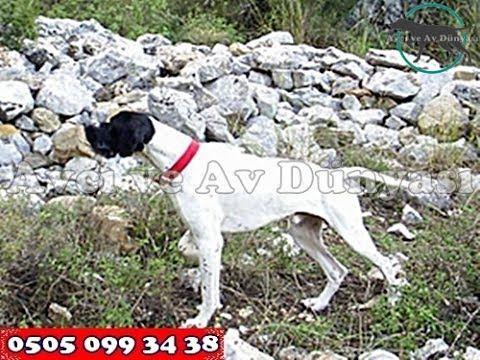 Av Eğitimi - Av Köpekleri Eğitimi 0505 099 3438