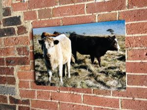 Moo Cows   Wildlife Photography by Clare FitzGerald #Cows #BeachyHead