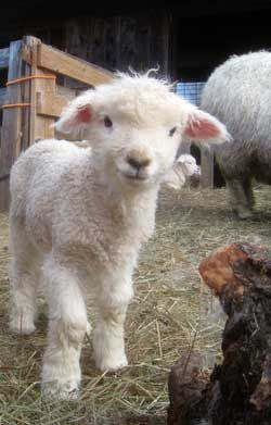 baby lamb!  There is so much space between his eyes. How does he see straight ahead?