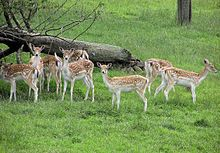 Fallow deer.  My favorite of course!  :o)