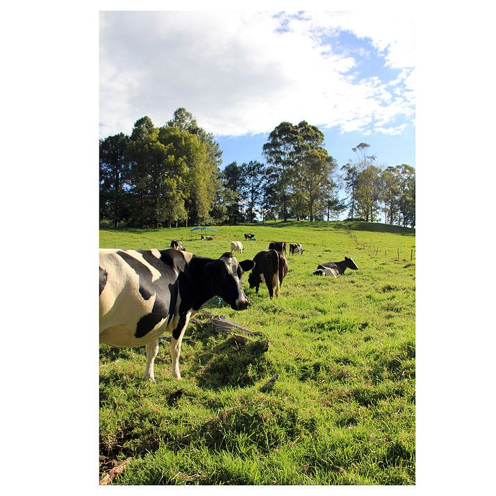 Taller de Hierbas // Vacas // Cows #View #Morning #Cows #Animals #Nature #Vacas