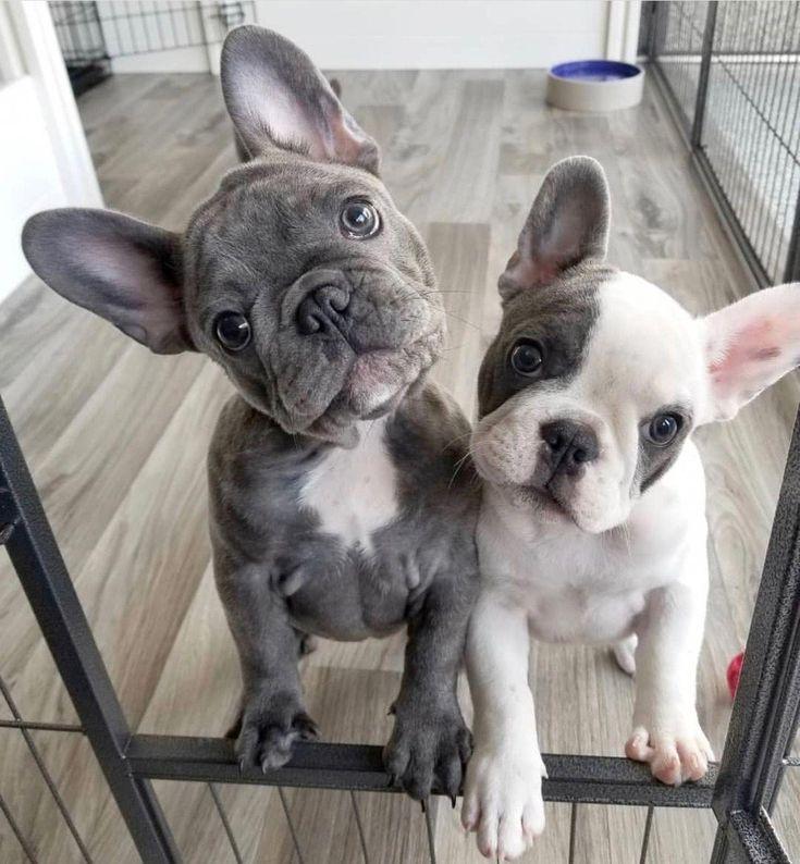 Reciba excelentes consejos sobre bulldogs. De hecho, están de guardia en nuestras webs … – Christine Leon   – süße Hunde