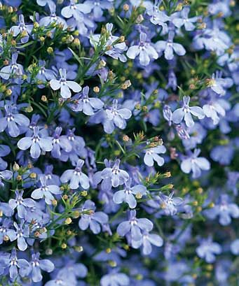 Blue Lobelia: stimulates the respiratory center of the brain, producing stronger and deeper breathing, making it very useful in treating many respiratory complaints, such as asthma, chronic bronchitis, whooping cough, spasmodic croup, and pneumonia.