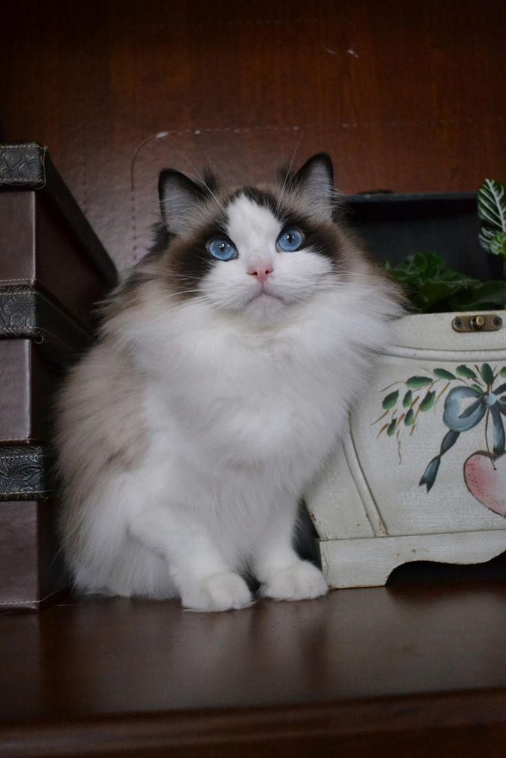 Birman Cats For Sale In Michigan