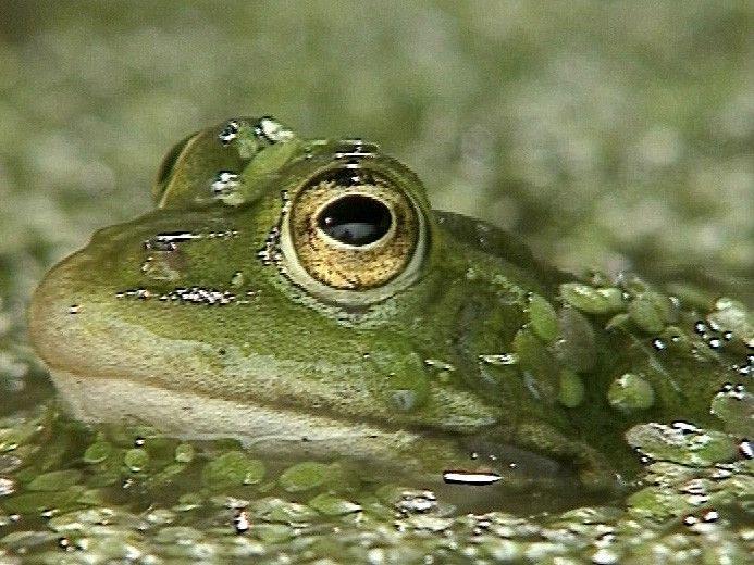 Groene kikkers zijn goed gecamoufleerd. Ze vallen niet op tussen de waterplanten. Een mannetje lokt een partner door keihard te kwaken. Opblaasbare kwaakblazen werken als geluidversterker. De eieren heten kikkerdril. De jongen maken een gedaanteverwisseling door.