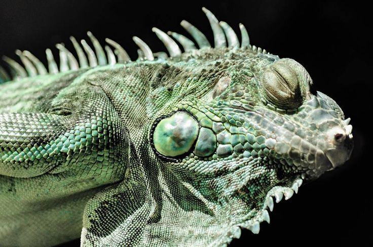 Lizard King #animals #lizard #green #photography #dark