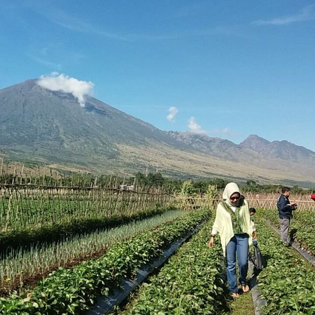 Farm tourism Lombok -> Based on the slope of mount rinjani. Sembalun Village rich of agriculture, nature and culture.  Strawberry crops  #mujitrekkertrip #mujitrekker #sembalunvillage #panoramawalk #Sembalun #farming #tourlombok #backpacking #traveling #mtrinjani
