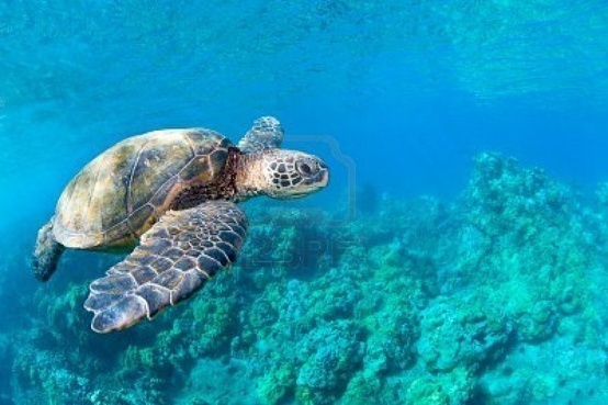 Beautiful honu, green sea turtle