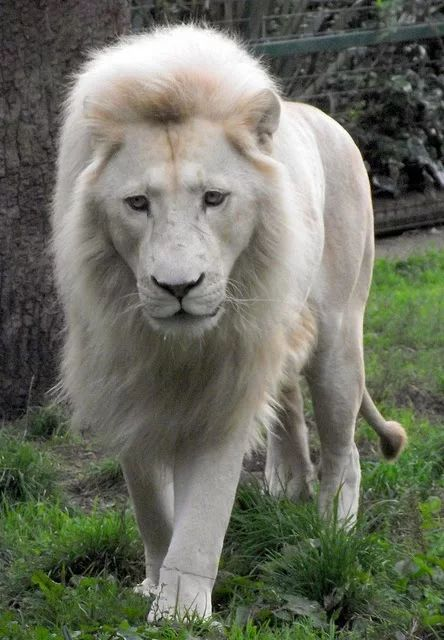 "Reminds me of Aslan in the ""Lion,, Witch, and the Wardrobe.....gentle, good Aslan <3"