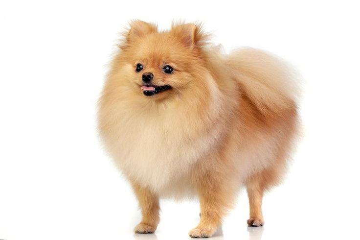 Pomeranian - Akita - Dog Accessories online store,   Find the Best Dog Breeds, Dog breeds medium, dog breeds for kids, dog breeds for kids, puppies cute, puppies training, puppies stuff, popular dog breeds, popular dog breeds, popular dog names puppies, dog breath remedy,  Visit our site for Best Dog Breeds and best Popular Dog Accessories.