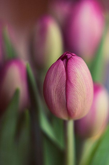 photo by narelle sartain - Tulips are one of my favs...especially purple ones