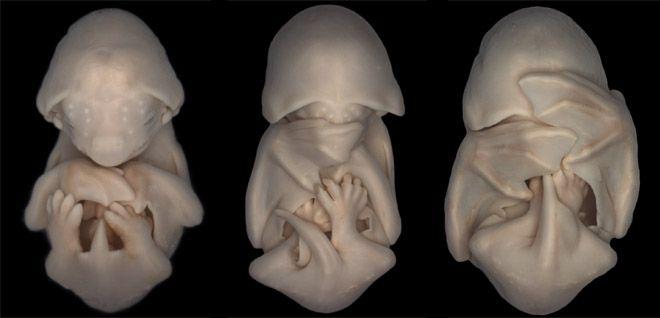 Dorit Hockman, Molossus rufu (black mastiff bat) embryos