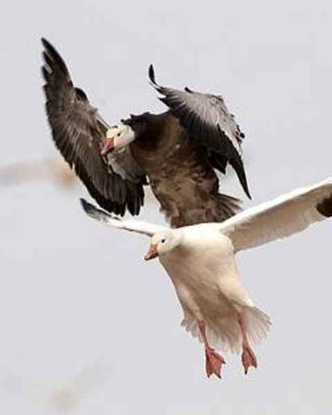 Snow Goose Guides - Guided Snow Goose Hunts - Mound City, MO: February 2011
