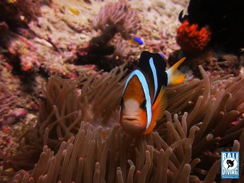 is he grumpy? #lol grin emoticon Taken by Inst.Amin  #clownfish #nemo #saltwater #balidiving #indonesia #padangbai #bali #thisisparadise www.balidiving.com