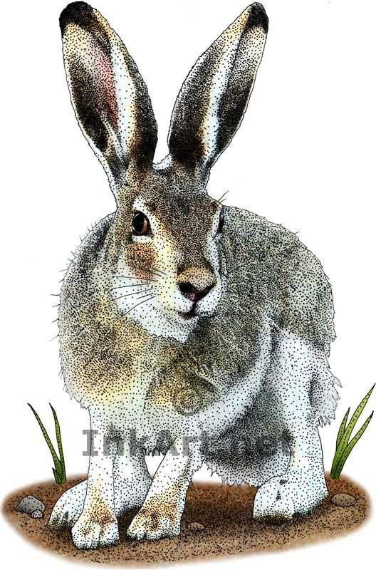 White-Tailed Jackrabbit (Lepus townsendii) Line Art and Full Color ...