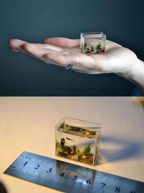 World's smallest aquarium:  Craftsman Anatoly Konenko is responsible for the smallest aquarium in the world. A glass cube measuring 30 x 24 x 14 mm, filled with multicolor stones and sand, contains 10 ml of water for a tiny fish. It also has a little water purification filter to keep the water healthy for fish.  Konenko has been fiddling around with micro-miniatures for 30 years – he was the first such craftsman in Siberia. He worked out how to write on rice grains, poppy seeds even human hair, and created the necessary micro-instruments to do this.: Cubes Measuring, Craftsman Anatoli, Smallest Miniatures, Smallest Aquarium, Miniatures Aquarium, Tiny Aquarium, Small Fish, Glasses Cubes, 30 Years