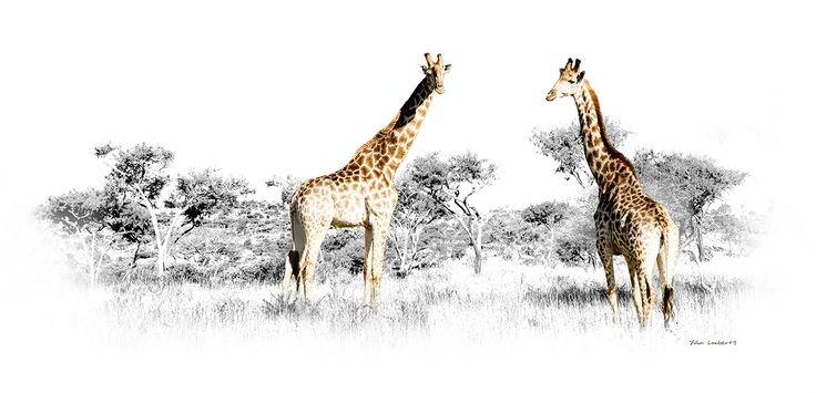Giraffe Pair - Panoramic | Canvas Print | Order online at ngunigalore.com - Delivery is FREE to anywhere in SA!