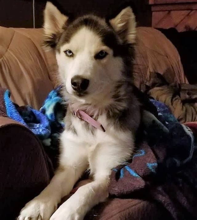 Lost Dog Minneapolis Husky Female Date Lost 10 31 2018 Dog S Name Sky Breed Of Dog Husky Gender Female Closest Intersection Losing A Dog Dogs Dog Ages
