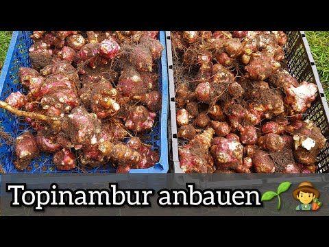 Topinambur Anbau Im Garten Topinambur Ernte Youtube Topinambur Topinambur Pflanzen Anbau