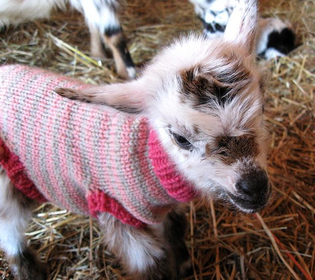 Lilly's 2012 doeling, one day old nigerian dwarf goat