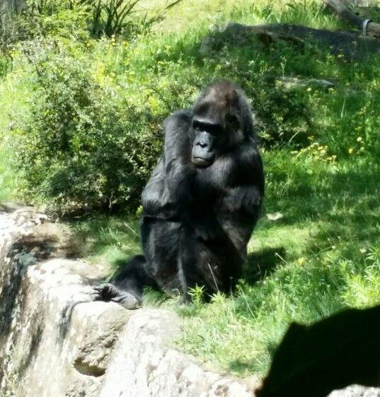 Trend Gorilla at the Berlin Zoo